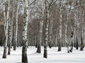 Birch forest in winter Stock Photography
