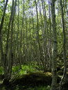 Birch Grove Royalty Free Stock Photo