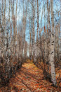 Birch grove by autumn Royalty Free Stock Photos