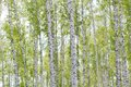 Birch grove the image of russia springtime Royalty Free Stock Photography