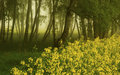 Birch grove with oilseed rape in the misty morning Royalty Free Stock Photo