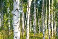 Birch grove on a sunny summer day landscape banner Royalty Free Stock Photo