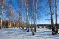 Birch grove in winter day sunny Royalty Free Stock Photo