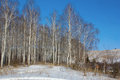 Birch grove in winter landscape with Royalty Free Stock Image