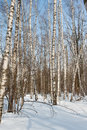 Birch grove in winter russia Royalty Free Stock Photos