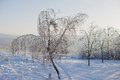 Birch in ice snow and sunny day Royalty Free Stock Photography