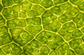 Birch leaf under the microscope Stock Image