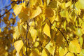 Birch leaves autumn yellow in the park Royalty Free Stock Photography