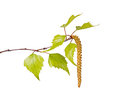 Birch leaves and flower catkin isolated on white several spring of a tree betula species a against a background Royalty Free Stock Photos