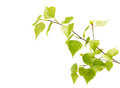 Birch leaves of the tree isolated on white background Royalty Free Stock Photo