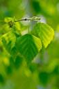 Birch leaves young green of tree with a blurred background Royalty Free Stock Photo