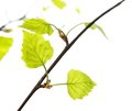 Birch leaves young of the tree isolated on white background stock photo Stock Photography