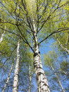 Birch in may, looking to the sky Royalty Free Stock Photo