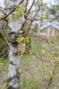 Birch pollen one full of in spring bad for allergy Royalty Free Stock Image