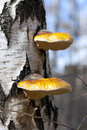 Birch polypore mushrooms (Piptoporus betulinus) Royalty Free Stock Photos
