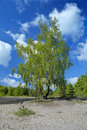 Birch on the sand glade Royalty Free Stock Photo