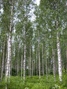 Birch stand in rows against the sky Royalty Free Stock Photos
