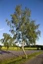 Birch tree Royalty Free Stock Photo