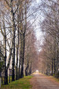 Birch tree alley and gravel road betweem them. Stock Image