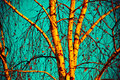 Birch tree in autumn Royalty Free Stock Photo