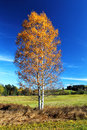 Birch Tree In Autumn