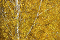 Birch tree autumn with yellow leaves Royalty Free Stock Photos