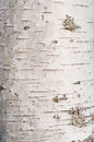 Birch tree bark texture Royalty Free Stock Photo