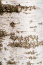 Birch tree bark texture Royalty Free Stock Photo