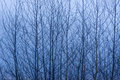 Birch tree branches against a misty background Royalty Free Stock Photo