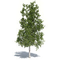 Birch tree d illustrated modeled inside ds max and rendered with v ray Royalty Free Stock Photo