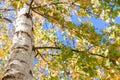Birch tree fall leaves yellow Royalty Free Stock Photo