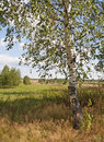 Birch tree on the field edge Royalty Free Stock Photo
