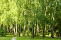 Birch tree forest Royalty Free Stock Photo