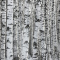 Birch Tree Forest Large Background Royalty Free Stock Photo