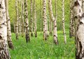 Birch tree forest in morning Royalty Free Stock Photo