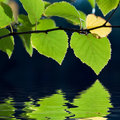 Birch tree leaves reflection Royalty Free Stock Photo