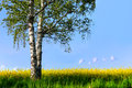 Birch tree in rapeseed plant field Royalty Free Stock Photo