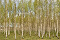 Birch tree in spring with fresh green leaves Stock Photography