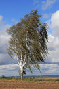 Birch tree in the storm Stock Image