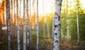 Birch tree at sunset Royalty Free Stock Photo
