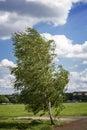 Birch tree at the tempelhofer feld berlin germany Stock Photos