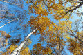 Birch tree tops in autumn of yellowish trees on blue sky background Stock Image