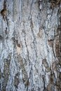 Birch Tree Trunk Royalty Free Stock Photo