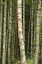 Birch tree trunks Stock Photography