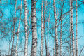 Birch tree trunks against blue sky Royalty Free Stock Images