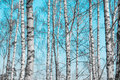 Birch tree trunks against blue sky Stock Images