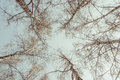 Birch tree trunks against blue sky Royalty Free Stock Photography