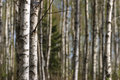 Birch tree trunks forest with on the spring Stock Photo