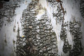 Birch tree wood texture background Stock Photo
