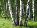 Birch trees Stock Photo